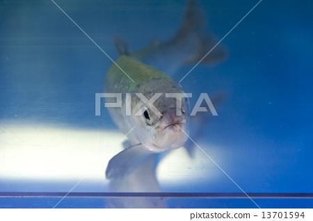 """환상의 물고기 """"国鱒 (쿠니마스""""정면 13701594"""
