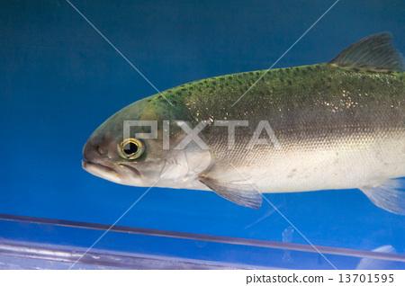 """환상의 물고기 """"国鱒 (쿠니마스""""얼굴 13701595"""