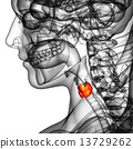 3d rendered illustration of the  thyroid gland 13729262