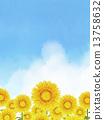 sunflower, sunflowers, Thunderhead 13758632
