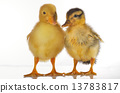 duckling isolated white 13783817