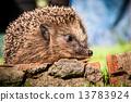 刺猬 动物 木头 13783924