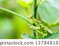Jeweled Flower Mantis or Indian Flower Mantis 13784819