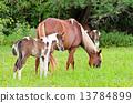 mare, foal, white 13784899
