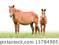 mare, foal, white 13784905