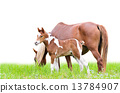 mare, foal, white 13784907