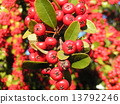 firethorn, red, fruit 13792246