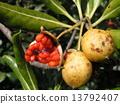海桐 日本山梅花 种子 13792407