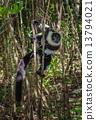 madagascar, lemur, black 13794021