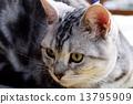 nyanko, tabby, cat 13795909