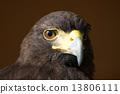 harris, hawk, staring 13806111