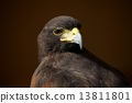 shoulder, harris, hawk 13811801