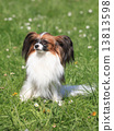 Continental Toy Spaniel on the green grass 13813598