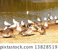 northern, pintail, black-headed 13828519