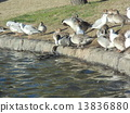 northern, pintail, black-headed 13836880