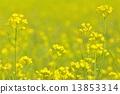 유채 꽃밭 13853314