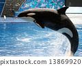 Killer Whale 13869920