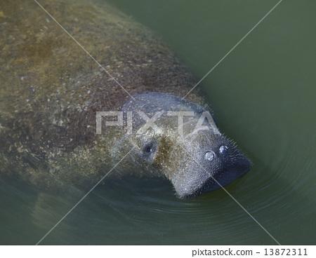 Swimming Manatee 13872311