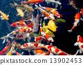锦鲤 鲤鱼 池塘 13902453