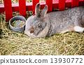 กระต่าย,ฟาร์ม,เซลล์ 13930772