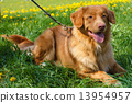 vector sketch two dog breed Nova Scotia Duck Tolling Retriever 13954957