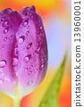 Close up of purple tulips 13960001