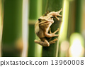 tree frog on branch 13960008