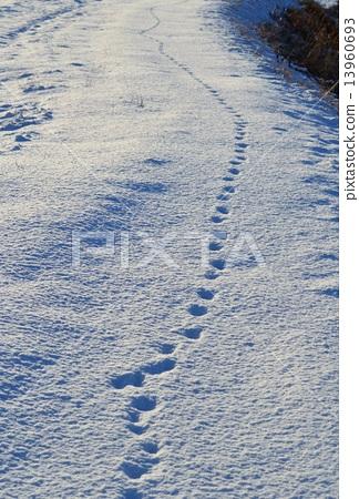 狐狸的腳印 13960693