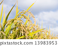 rice, rice crop, rice cultivation 13983953