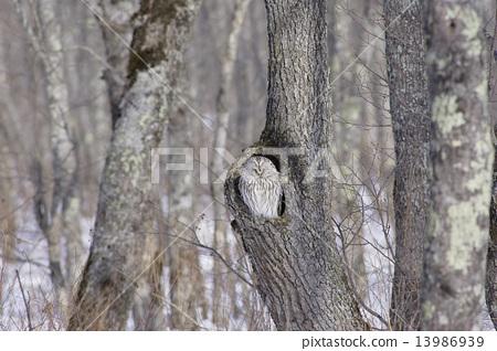Ezo Owl 13986939