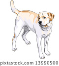 vector sketch yellow gun dog breed Labrador Retriever 13990500