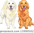 vector sketch two dog breed Golden Retriever 13990502