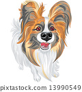 vector pedigreed dog Papillon breed 13990549