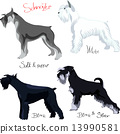 vector set of purebred dogs of different colors Schnauzer 13990581