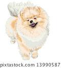 spitz dog smiles 13990587