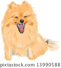 vector color sketch of the dog German Toy Pomeranian breed smile 13990588