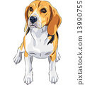 vector sketch dog Beagle breed sitting 13990755