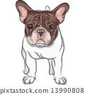 vector sketch domestic dog French Bulldog breed 13990808