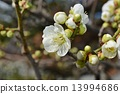 Buds and green plum blossoms 13994686
