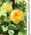 玫瑰 玫瑰花 花朵 13998474
