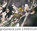 Plum flowers and mezzo 14005534