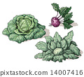 Variety of cabbage 14007416