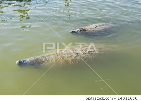 美國佛羅里達大沼澤國家公園佛羅里達海牛的父母和子女 14011650