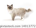 貓的水平外觀 14013772