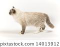 貓的水平外觀 14013912