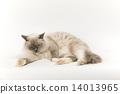 貓睡覺的樣子 14013965