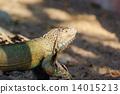 lizard, creature, outdoor 14015213