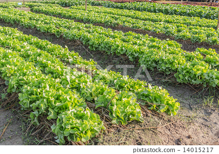 Lettuce in plots 14015217