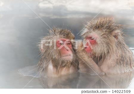 혼욕중인 일본 원숭이 커플 Couple of the monkey entering the hot spring 14022509