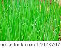 Green Onions 14023707
